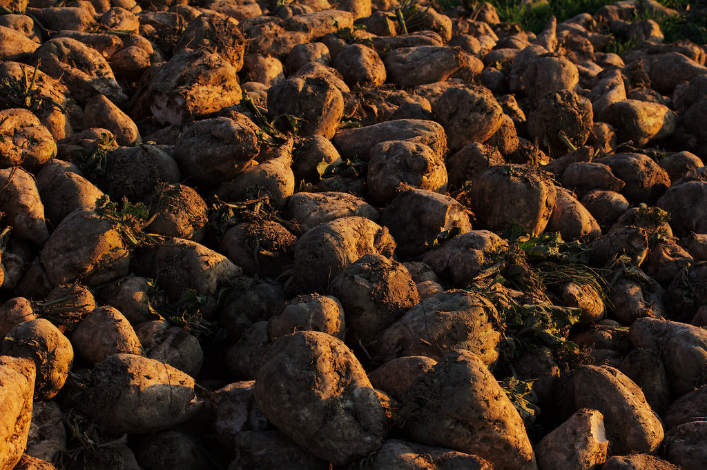 Sugar beets in the evening sun